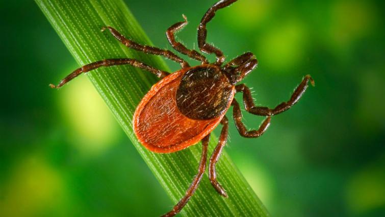 Kullancsok által terjesztett betegségek